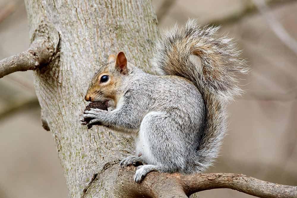Grauhörnchen sind innerhalb der EU unerwünscht © Mathew Schwartz / Unsplash