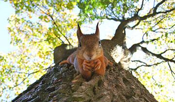 Rote Eichhörnchen sind in London selten geworden © Kylli Kittus / Unsplash